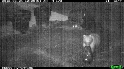 """ADF&G has identified 10 locations around Sitka where bears are taking garbage bags to sort their """"loot."""" This bear was caught in the act in a Sitka neighborhood last summer. (ADF&G photo/Phil Mooney)"""