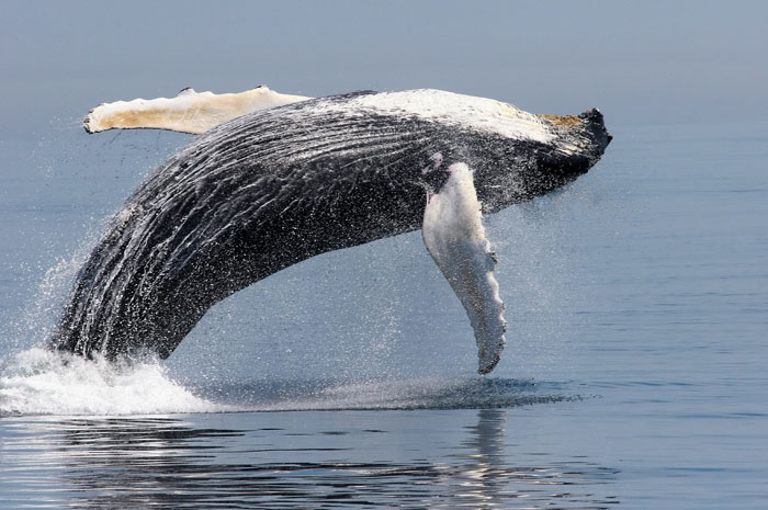 Feds propose removing most humpback whales from endangered species list