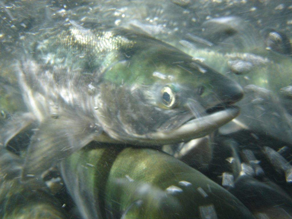 USFS Fisheries: Salmon top Tongass product
