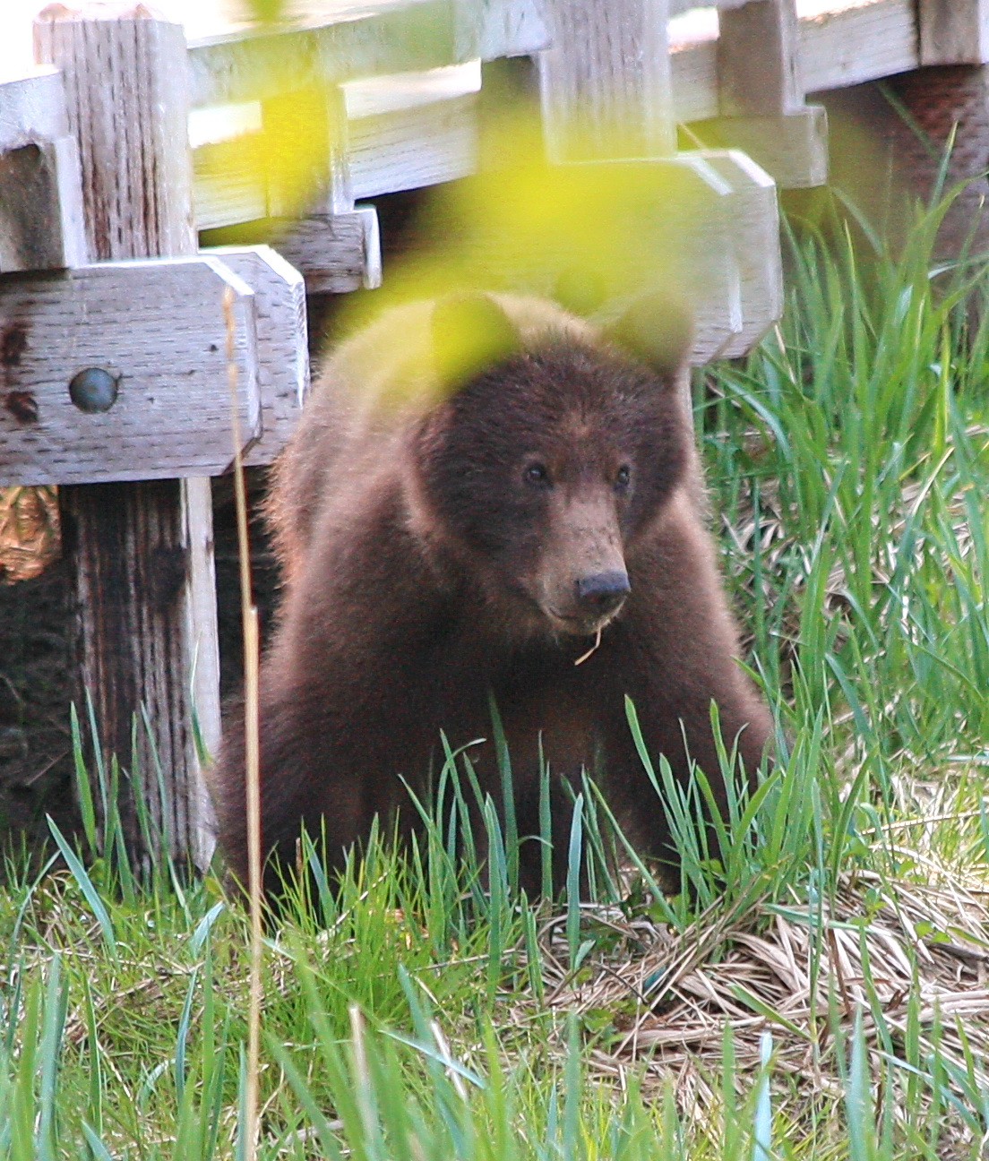 Trooper shoots aggressive brown bear in Starrigavan campground