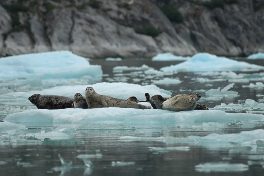 Feds ask cruise ships, boats to stay far away from seals