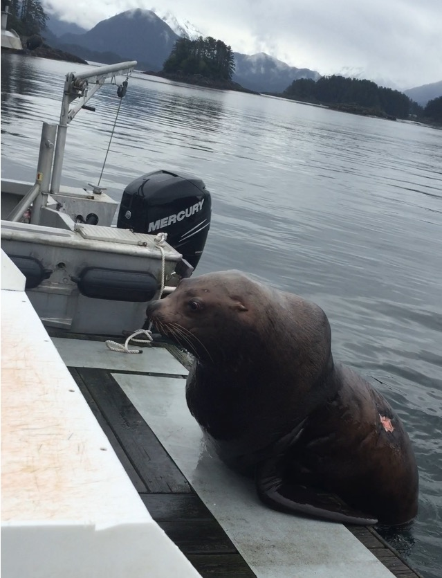 Aggressive sea lion harasses fishermen