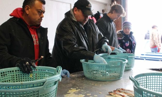 Sitka herring fishery gets to work in 15 minute opener