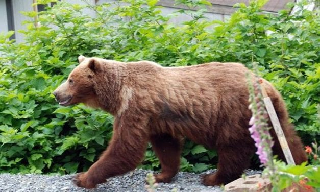 Troopers shoot bear after it kills, eats a dog in a Sitka neighborhood