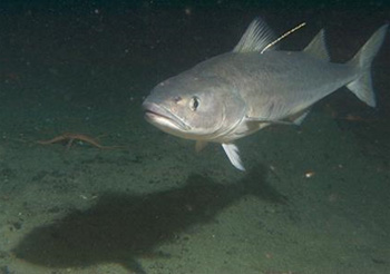 Board of Fish passes annual black cod limit for sport fishing