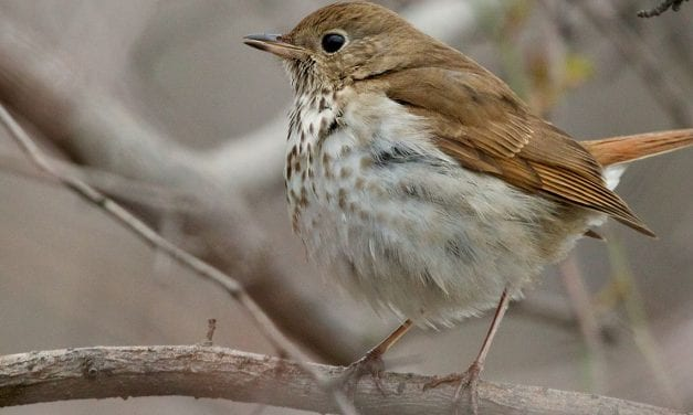In concert hall or on hike, hermit thrush sings for Sitkans