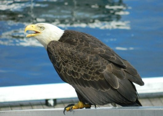 Council bans intentional feeding of eagles