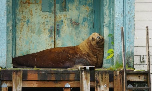 After four day shore leave, confused sea lion returned to sea