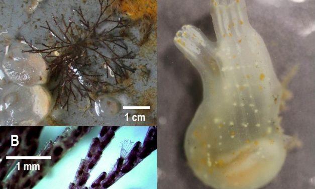 Previously unknown marine invasive species found in Ketchikan