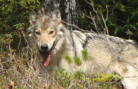 POW wolf season extended slightly for trappers