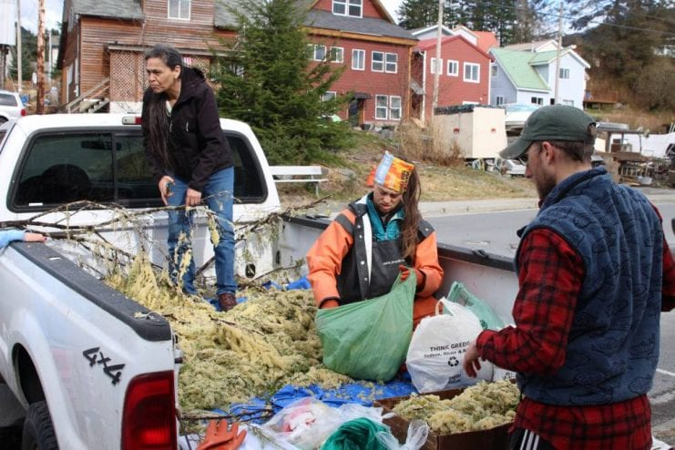 From left to right, cultural resources coordinator Tammy Young, environmental lab manager Kari Lanphier and fisheries biologist Kyle Rosendale sort through a truckload of herring eggs to weight and distribute to elders. (KCAW photo/Enrique Pérez de la Rosa)