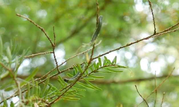 Second summer sawfly outbreak browns hemlock trees around Southeast