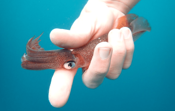Researchers give talk on market squid migration,  population boom